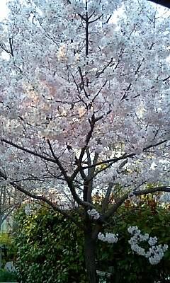 江田島の彼岸桜