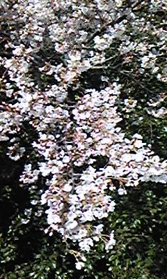 四ツ谷の桜